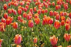 橙色郁金香的域 免版税库存照片