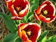 3橙色郁金香的里面的特写镜头 库存图片