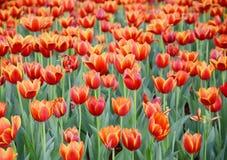 橙色郁金香花在庭院是自然本底 库存照片