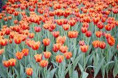 橙色郁金香花在庭院是自然本底 免版税库存照片