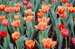 橙色郁金香花在庭院是自然本底 库存图片