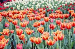 橙色郁金香花在庭院是自然本底 图库摄影