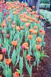 橙色郁金香花在庭院是自然本底 免版税库存图片