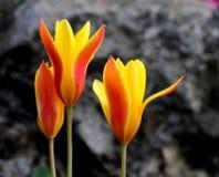 橙色郁金香黄色 免版税库存图片
