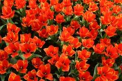 橙色郁金香 库存照片