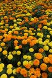 橙色金万寿菊花床 免版税库存照片