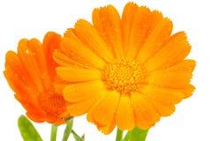 橙色金盏草花 免版税库存图片