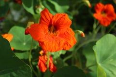 橙色金莲花在庭院里 免版税库存照片