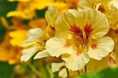 橙色金莲花在庭院里 免版税库存图片