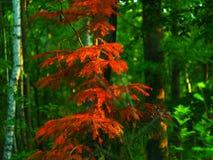 橙色针叶树 免版税库存照片