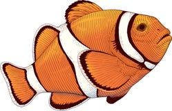橙色银莲花属珊瑚鱼 库存照片