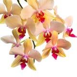 橙色镶边兰花开花的分支,兰花植物是isola 免版税库存图片