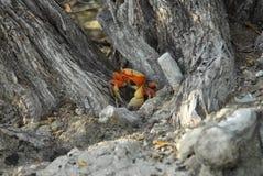 橙色陆地蟹 免版税图库摄影