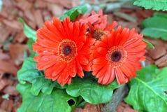 橙色雏菊在花圃里 免版税库存照片