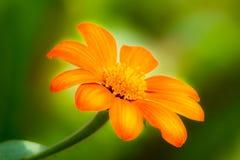 橙色雏菊开花 免版税库存图片