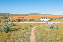 橙色雏菊的领域在Namaqua国家公园 免版税库存图片