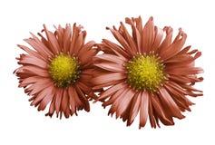 橙色雏菊花在白色的隔绝了背景 设计的两棵春黄菊 在视图之上 特写镜头 免版税图库摄影