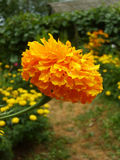 橙色雏菊花 库存图片