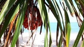 橙色露兜树果子和叶子有刺的在海滩 免版税库存图片