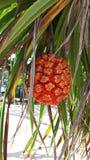 橙色露兜树果子和叶子有刺的 免版税库存图片
