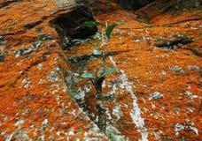 橙色青苔和植物岩石的 免版税库存照片
