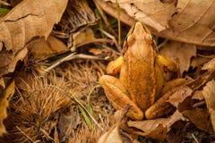 橙色青蛙在秋天森林里 免版税库存图片