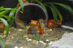 橙色青蛙 免版税图库摄影