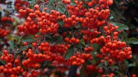 橙色颜色成熟莓果从在分支的风摇摆 股票录像