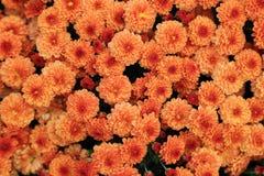 橙色颜色菊花顶视图开花与水下落的花束 库存图片