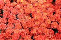 橙色颜色菊花顶视图开花背景的花束 图库摄影