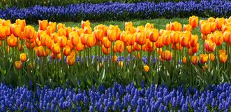 橙色颜色郁金香花在庭院里 库存照片