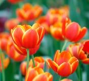 橙色颜色郁金香花 免版税库存照片