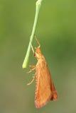 橙色飞蛾 库存图片