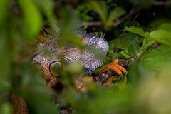 橙色鬣鳞蜥 库存图片