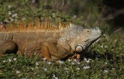 橙色鬣鳞蜥 免版税库存照片