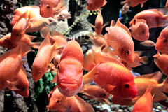 橙色鱼特写镜头,游泳往照相机,珊瑚在背景 库存图片