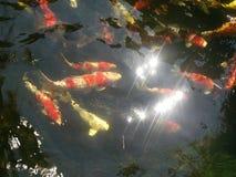 橙色鲤鱼 库存照片