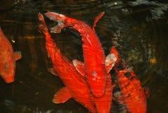 橙色鲤鱼Koi鱼在池塘有黑暗的背景 免版税库存图片