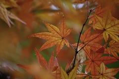 橙色鸡爪枫叶子 免版税图库摄影
