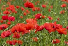 橙色鸦片在意大利开花绽放 库存照片