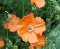 橙色鸦片或罂粟属在绽放的Atlanticum 免版税图库摄影
