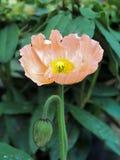 橙色鸦片花的美好的宏指令 免版税图库摄影