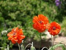 橙色鸦片花 库存照片