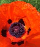 橙色鸦片绽放的王子 免版税图库摄影