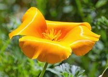 橙色鸦片 库存照片