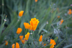 橙色鸦片 免版税图库摄影
