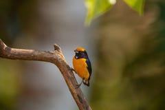 橙色鼓起的Euphonia,男性 免版税库存图片