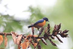 橙色鼓起的Euphonia 库存照片