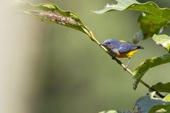 橙色鼓起的Flowerpecker -男性 免版税图库摄影