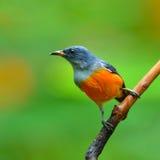 橙色鼓起的Flowerpecker 免版税库存照片